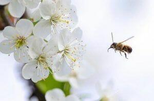 Ayudamos a las abejas con hierbas en inglés.