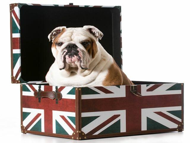 buldog angielski komendy dla psa